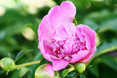 Pivoine Photo stock