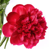 Pivoine Photographie stock