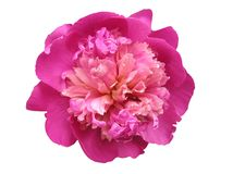 Pivoine Photos stock