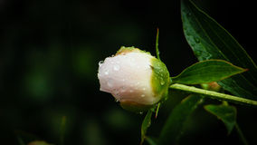 Pivoine avec des gouttes de pluie Image stock