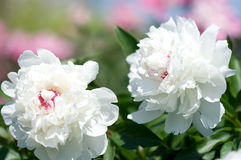 Pivoine blanche Photo stock