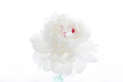 Pivoine blanche Images stock
