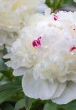 Pivoine blanche Images stock