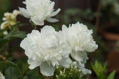 Pivoine blanche Photos libres de droits