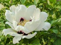 Pivoine blanche en pleine floraison Image stock
