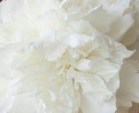 Pivoine blanche et macro Photographie stock libre de droits