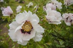 Pivoine comme un arbre blanche avec des feuilles et des usines Fleurs sur un parc Jour de source images stock