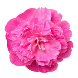 Pivoine cramoisie Photos stock