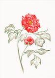 Pivoine d'aquarelle. Images stock