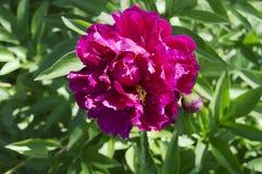 Pivoine dans le jardin dans un rose lumineux, avec un bourgeon Image stock