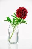Pivoine dans un vase en verre avec de l'eau Photographie stock libre de droits