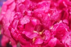Pivoine de fleur dans les baisses en gros plan Images libres de droits