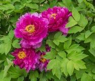 Pivoine de floraison Photographie stock libre de droits