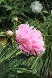 Pivoine et bourgeons roses sur un fond de verdure photos stock