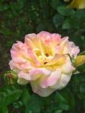 Pivoine multicolore photos libres de droits