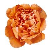 Pivoine orange de fleur d'isolement sur un fond blanc Plan rapproché images libres de droits