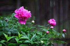 Pivoine rose Photos libres de droits