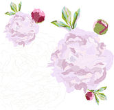 Pivoine rose Images stock