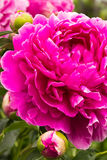 Pivoine rose Photo stock