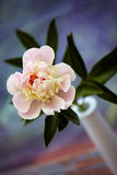 Pivoine rose Photographie stock