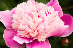 Pivoine rose Photo libre de droits
