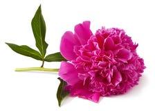Pivoine rose Image libre de droits