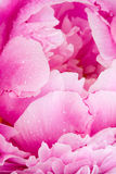 Pivoine rose Photos stock