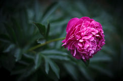 Pivoine rose Photos stock