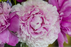 Pivoine rose Image stock