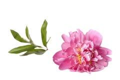Pivoine rose avec les lames vertes Image libre de droits