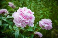 Pivoine rose Bush Photographie stock libre de droits