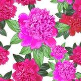 Pivoine rose Configuration sans joint Photo stock