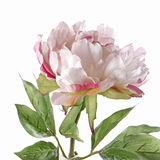 Pivoine rose d'isolement sur le blanc Photos stock