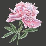 Pivoine rose magnifique Image stock