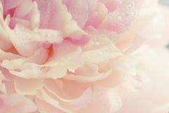 Pivoine rose, plan rapproché Images stock