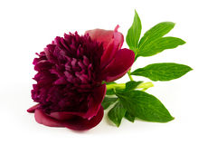Pivoine rouge Image stock