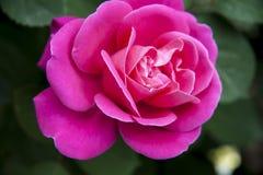Pivoine rouge Image libre de droits