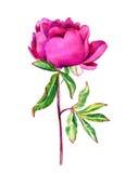 Pivoine sensible de rose d'aquarelle Images libres de droits