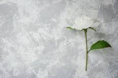 Pivoine sur un fond de marbre, photographié pendant la journée Photographie stock libre de droits
