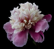 Pivoine sur un fond noir photo stock