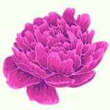 Pivoine violette Pivoine d'isolement Pivoine simple Photo stock