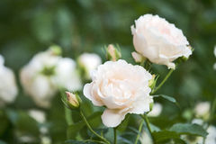 Pivoines blanches Images stock