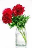 Pivoines dans un vase en verre avec de l'eau Photographie stock libre de droits