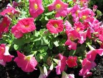 Pivoines de floraison Images libres de droits