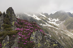 Pivoines de montagne Photo stock