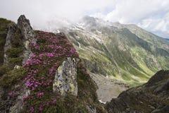 Pivoines de montagne (rhododendron) Photos libres de droits