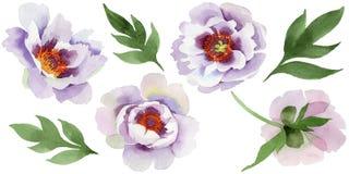 Pivoines doucement roses Fleur botanique florale Wildflower sauvage de feuille de ressort d'isolement illustration libre de droits