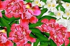 Pivoines et jasmin de fleurs Photo libre de droits