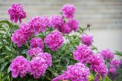 Pivoines pourpres roses fleurissantes luxuriantes abondantes dans le jardin Symbole floral traditionnel de la Chine, où utilisé d Image stock