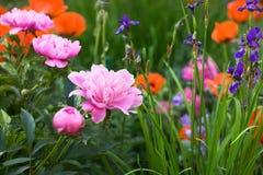 Pivoines roses Photo libre de droits
